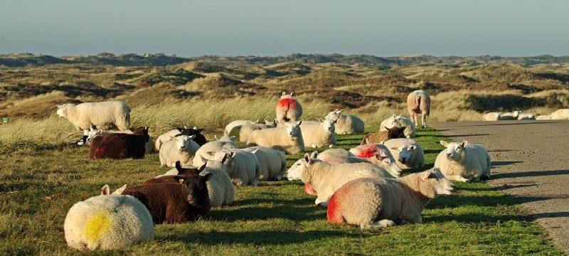 slowe schapen – kopie